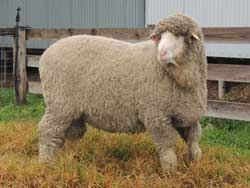 Semen Sire Moorundie Poll NE008 – Grandsire Nyowee E430,